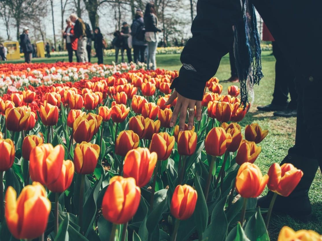 Keukenhof: Amsterdam's Tulip & Flower Festival