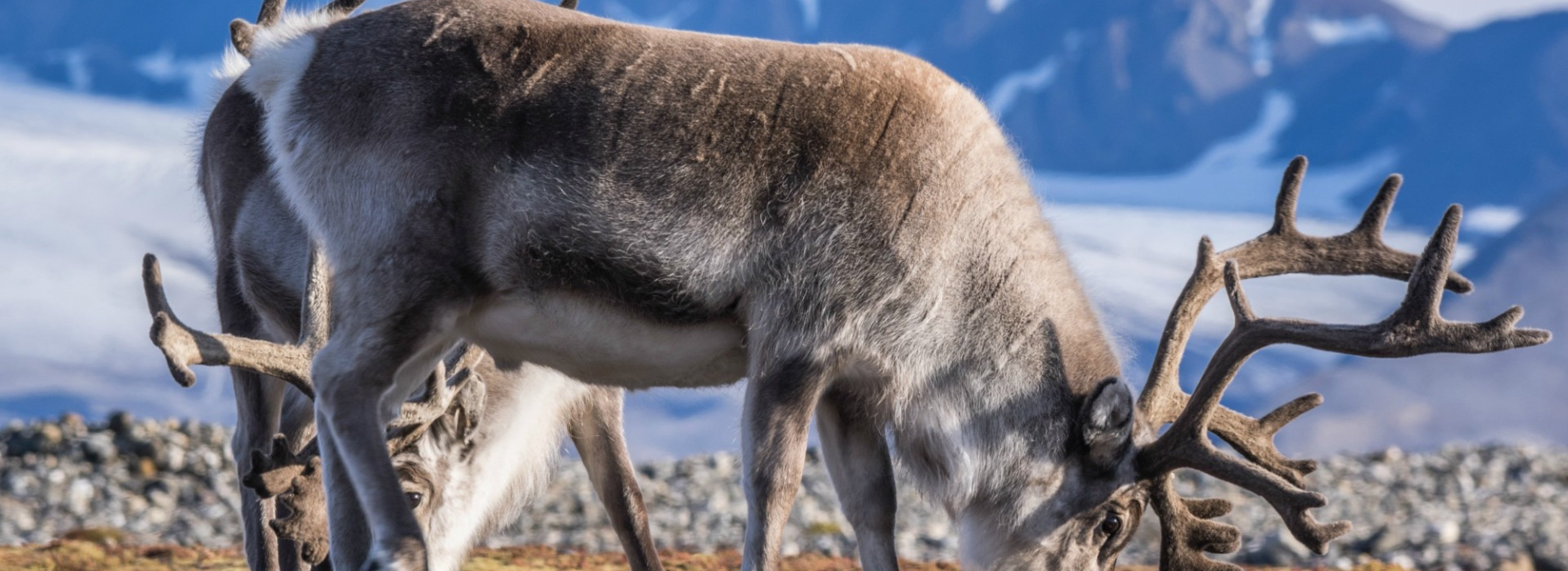 Reindeers in Svalbard
